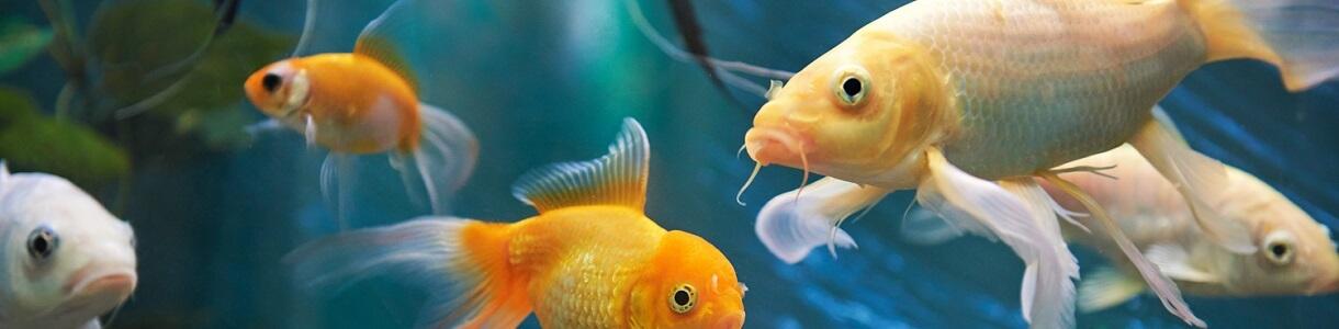 Fische in einem Aquarium